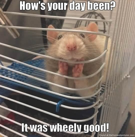 Hamster Memes How's your day been it was wheely good