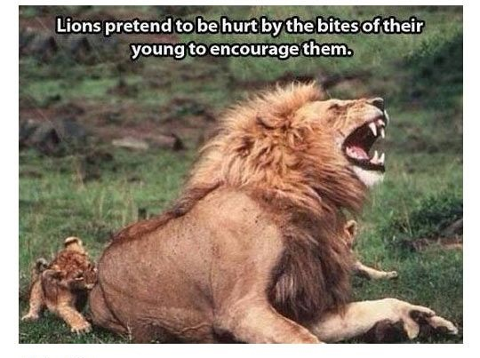 Lion Meme Lions pretend to be hurt by the bites of their young to