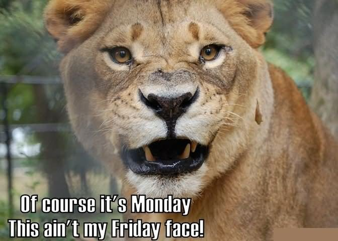 Lion Meme Of course it's monday this ain't my friday