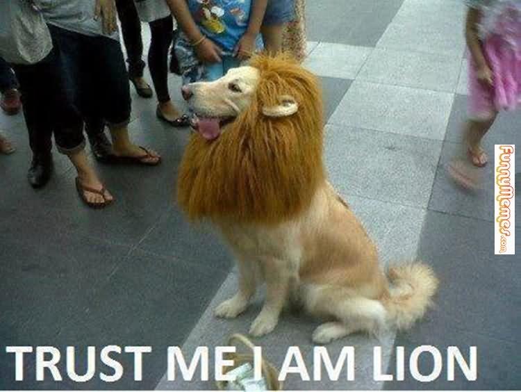 Lion Memes Trust me I'm am lion