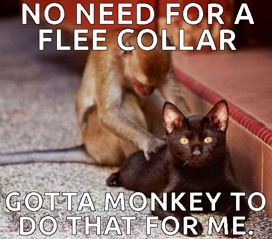 Monkey Meme NO need for a flee collar gotta monkey to do that for me