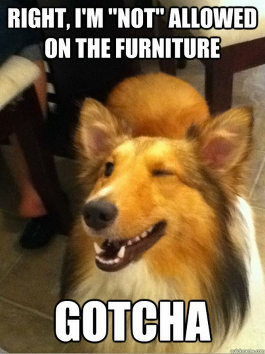 Right im not allowed on the furniture Dog Meme