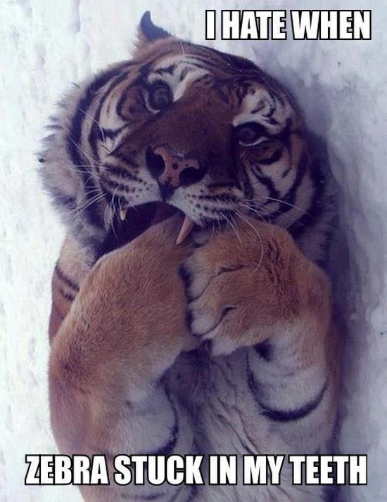 I hate when zebra stuck in my teeth Tiger Meme