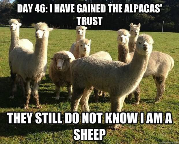 Pet Meme day 46 i have gained the allpacas trust they still do not know i am