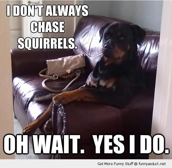 Squirrel Meme i don't always chase squirrels oh wait yes i do