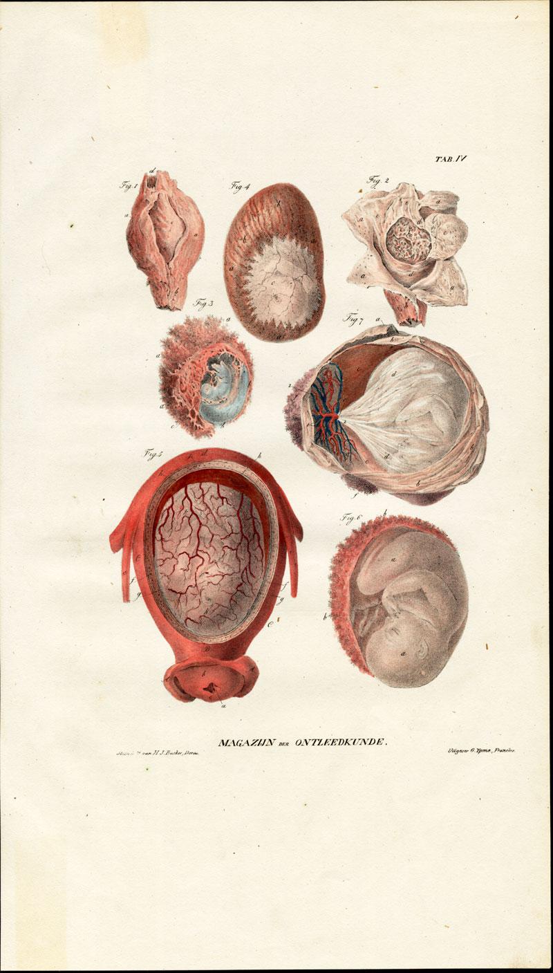 Antique Anatomy Print-OVUM-PREGNANCY-FETUS-Richter-1839 ...