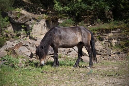 halbwilde Exmoor - Stute