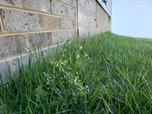 A weed begins to curl after a professional post-emergent herbicide treatment | DIY vs. Professional Lawn Care
