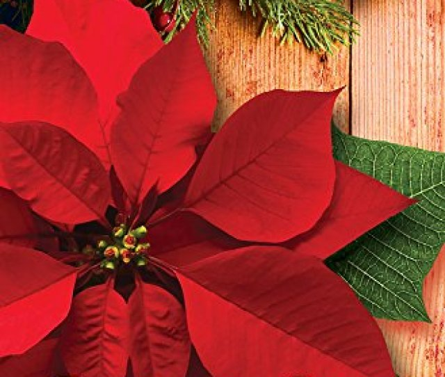 Glory To God Poinsettia Christmas Bulletin Pkg Of