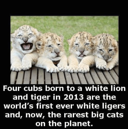 White Ligers - the rarest big cats on planet