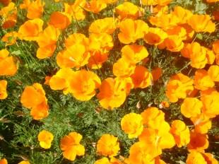 california poppies orange and happy