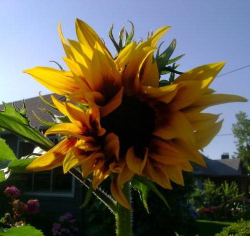 happy sunflower