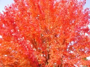 Vivid orange leaves