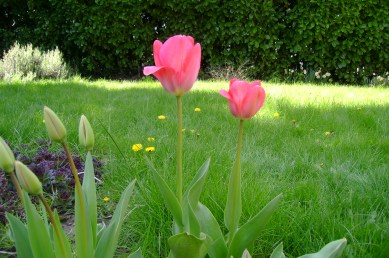 green grass with tulips
