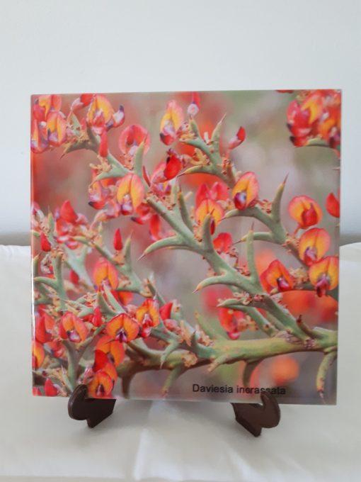 wildflower daviesia incressata esperance