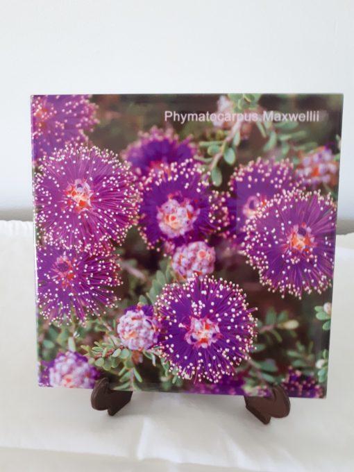 wildflower phymatocarpus maxwelli cape arid wa