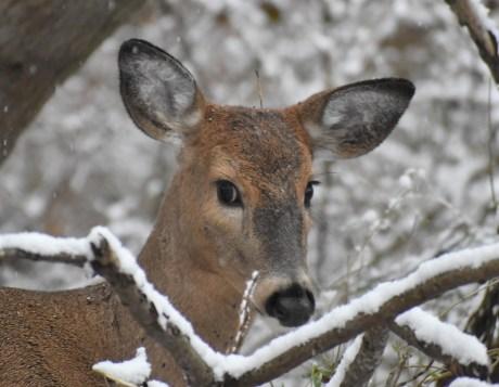 deer 11-9-2018 8-39-04 AM