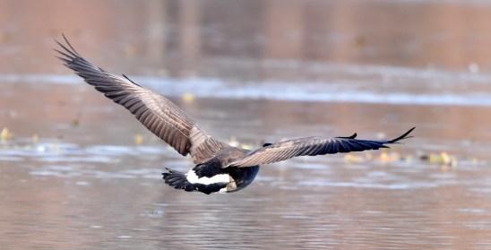 goose 11-14-2018 12-29-001