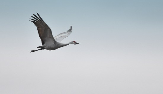 sandhill crane with one leg 11-7-2018 4-11-48 PM