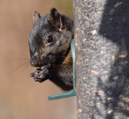 squirrel 11-14-2018 12-48-28 PM