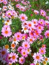 Pink daisies.