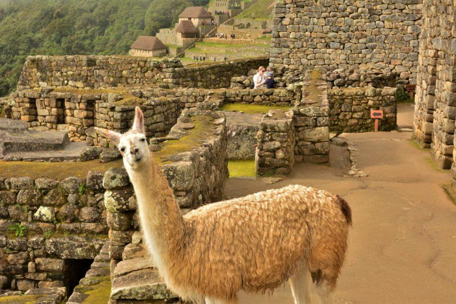 Machu Picchu information - Llama at Machu Picchu.