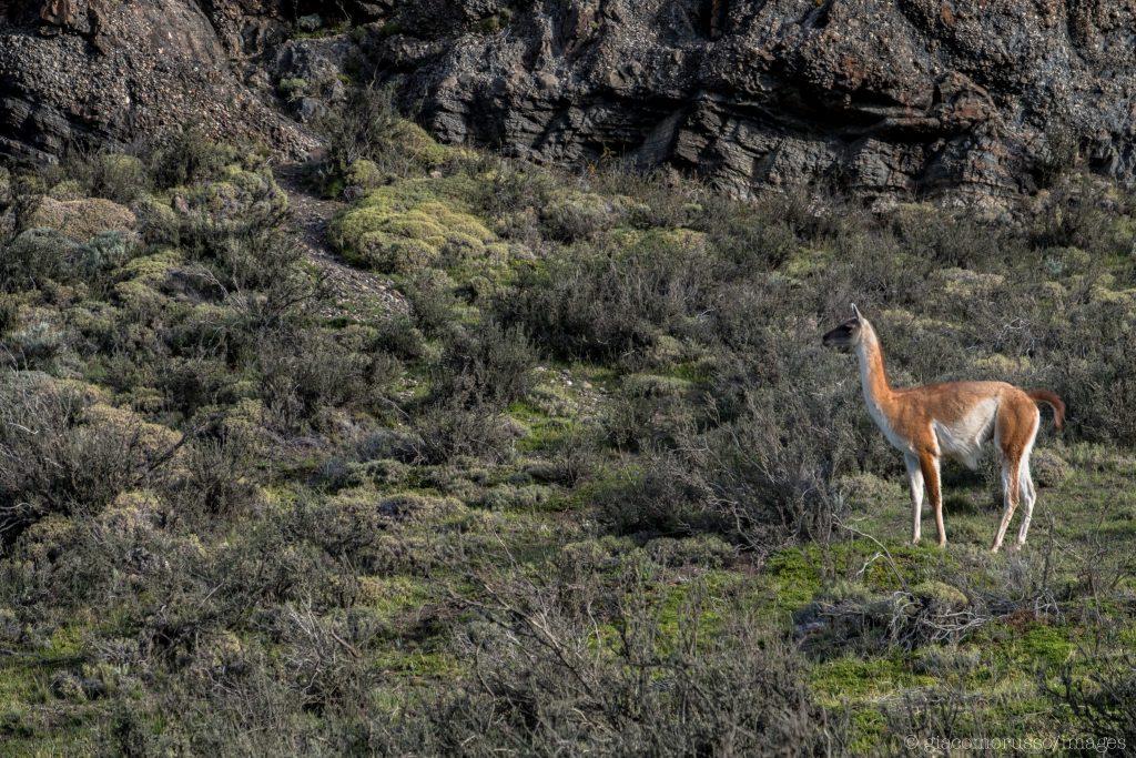 torres del paine guanaco chilean patagonia trekking wildlife