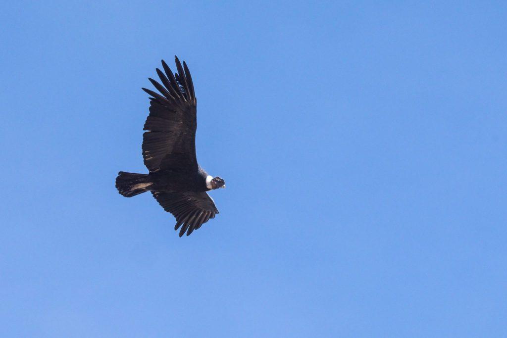 Colca Canyon trek - Andean condor in flight.