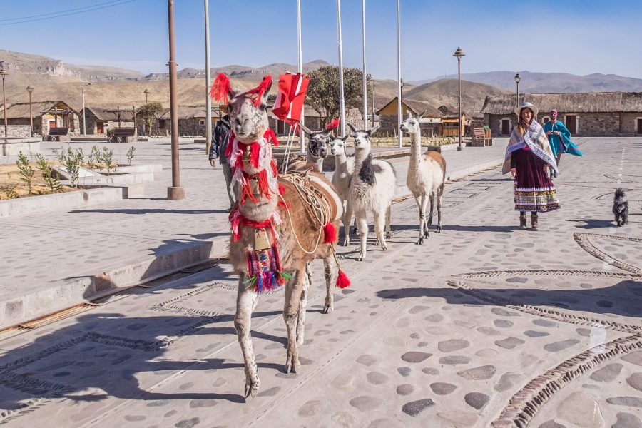 Homestay tours in Colca Canyon - Llamas walking through Sibayo.