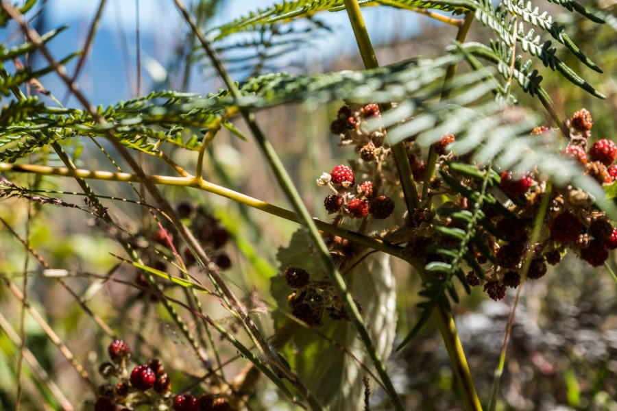 New Inca Trail to Machu Picchu, Carcel Trek - Wild berries on the trail.