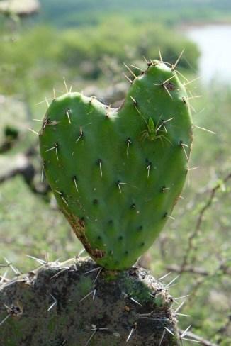 Heart Cactus