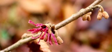 Witch hazel 'Amethyst' is just beginning to open, again, a bit early.