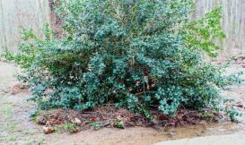 Note the pile of debris lodged against the holly.