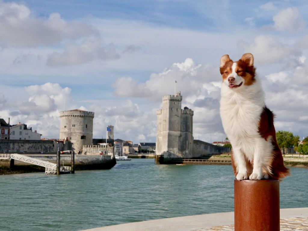chien berger australien La Rochelle tours vieux port