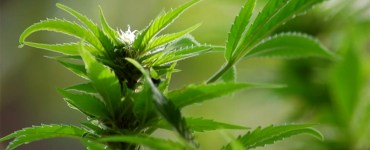 marijuana migliora la memoria