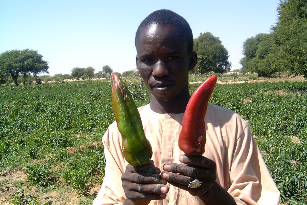 Expérience - Paysan nigérien devant son champ, présentant la variété locale de poivron Corne-de-bouc, rive de la Komadougou, Yobé, Niger
