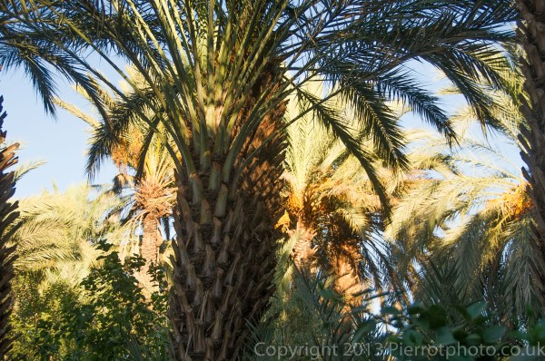 Date palm trees at an oasis in Morocco