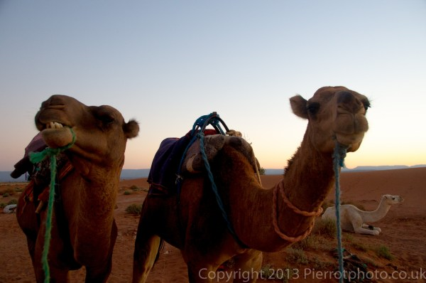 Camels, at sunset, in the Sahara desert, Morocco