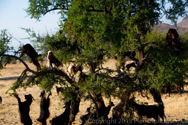 Goats in the argan trees, Morocco