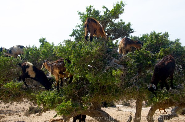 Goats, in argan trees eating the argan nuts in Morocco