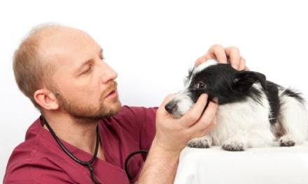 Badanie okulistyczne psów rasowych w kierunku chorób dziedzicznych.Co warto o nim wiedzieć i jak się je wykonuje?
