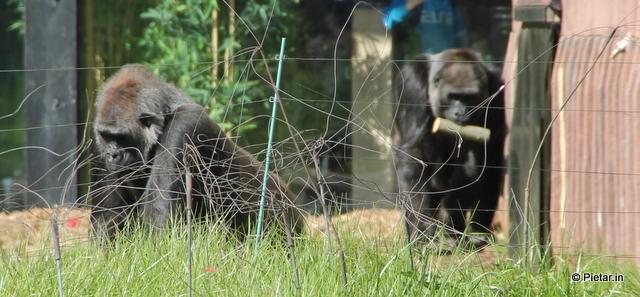 Gorillat