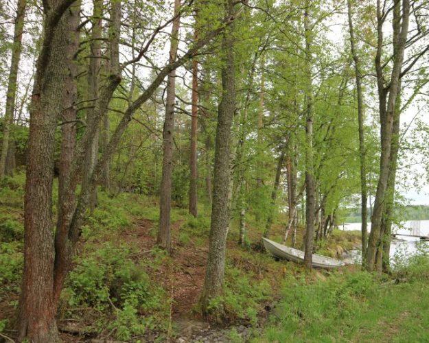 Vene metsässä.