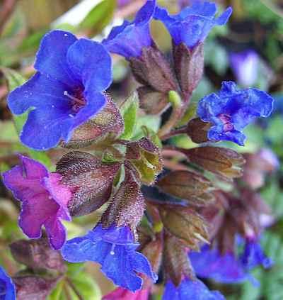 Pulmonaria angustifolia Blue Ensign