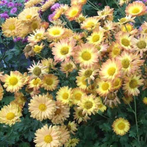 Chrysanthemum Dernier Soleil - Chrysant