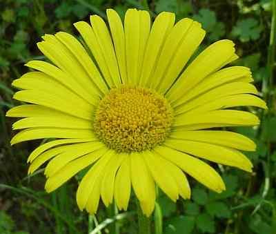 Doronicum pardalianches - Voorjaarszonnebloem