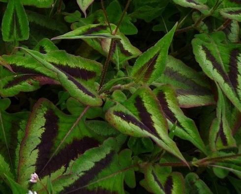 Persicaria microcephala Silver Brown
