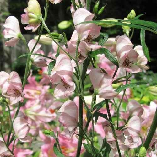 Aconitum Pink Sensation
