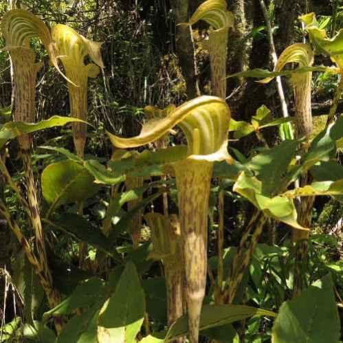 Arisaema nepenthoides - Jan op de Preekstoel