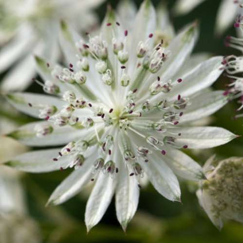 Astrantia major Snow Star -Zeeuws Knoopje